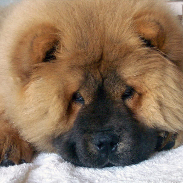 Chow Chow Rescue